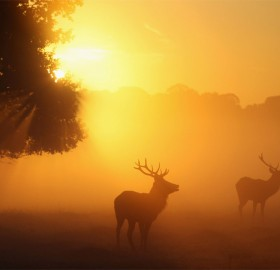deers in the morning