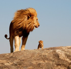 lions, father and son