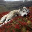 sleepy husky at red field
