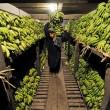 banana storage, pakistan
