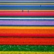 holland tulip farm