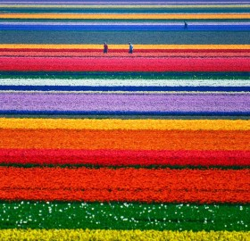 holland tulip farm