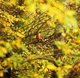 red bird in yellow tree
