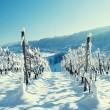 vineyard at winter