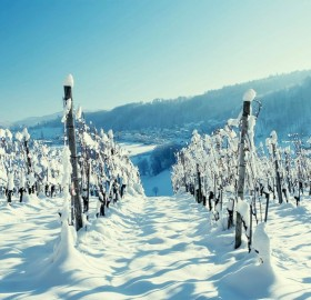 vineyard at winter
