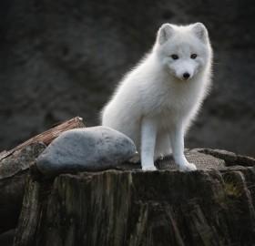 young artic fox