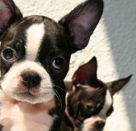 6 week old boston terrier