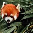 cute red panda