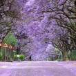 jacaranda trees in bloom, south africa