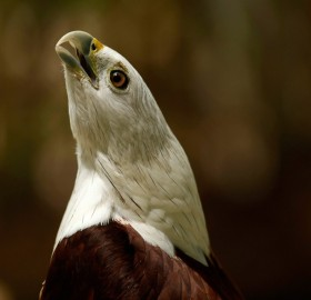 red backed sea eagle