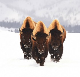 this buffalo mean business
