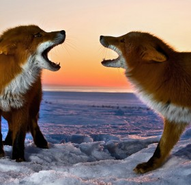 two foxes snarling at each other