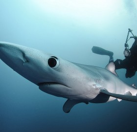 blue shark and the diver
