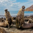 elephant bull seals