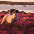 polar bear in fields of purple flowers