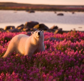 polar bear in fields of purple flowers