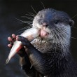 short clawed otter eats a fish