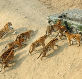 siberian tigers and their keeper