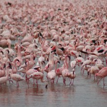 the flamingos of lake nakuru, kenya