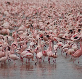 the flamingos of lake nakuru, kenya