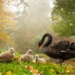 black swan with babies