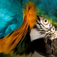 eye of the macaw