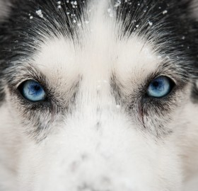 close up husky eyes