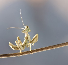 happy mantis