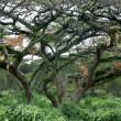 lions in a tree, kenya