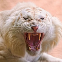 white lion fangs