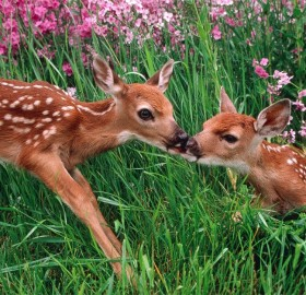 deer and fawn in spring meadow
