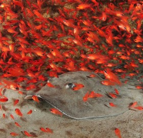 stingray in riot of red