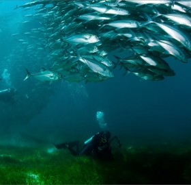 diving and chasing fish