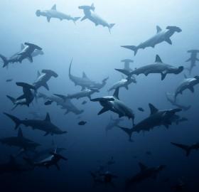 a shoal of hammerhead sharks