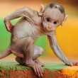 hairless baby macaque monkey