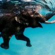 swimming elephant, andaman islands