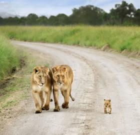 baby lion proud walk