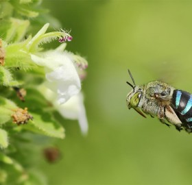 blue banded bee in flight