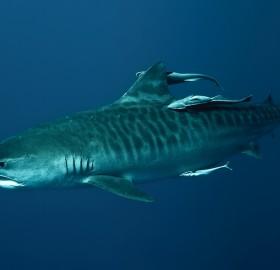 tiger shark in deep blue sea