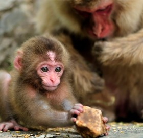 one month old baby monkey