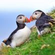 atlantic puffin couple