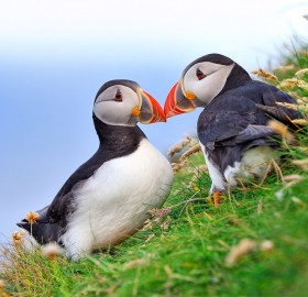 atlantic puffin couple