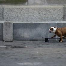 bulldog rides skateboard