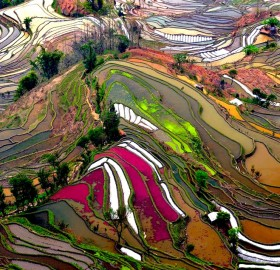 colorful rice fields of china