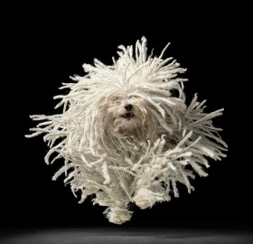 fluffy dog on the run
