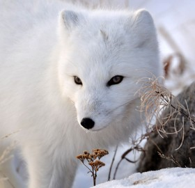 look of the arctic fox