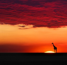 giraffe in sunset harmony