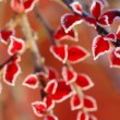 red snowy leaves