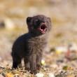 artic fox pup