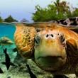 green sea turtle, bora bora
